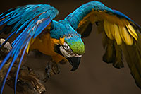 /images/133/2017-02-05-reid-macaw-1x_40995.jpg - #13634: Blue-and-Gold Macaw at Reid Park Zoo … February 2017 -- Reid Park Zoo, Tucson, Arizona