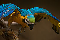 /images/133/2017-02-05-reid-macaw-1x_40996.jpg - #13635: Blue-and-Gold Macaw at Reid Park Zoo … February 2017 -- Reid Park Zoo, Tucson, Arizona
