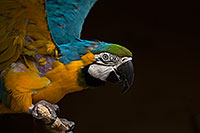/images/133/2017-02-05-reid-macaw-1x_41028.jpg - #13638: Blue-and-Gold Macaw at Reid Park Zoo … February 2017 -- Reid Park Zoo, Tucson, Arizona