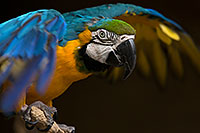 /images/133/2017-02-05-reid-macaw-1x_41031.jpg - #13639: Blue-and-Gold Macaw at Reid Park Zoo … February 2017 -- Reid Park Zoo, Tucson, Arizona