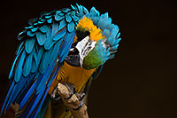/images/133/2017-02-05-reid-macaw-1x_41064.jpg - #13640: Blue-and-Gold Macaw at Reid Park Zoo … February 2017 -- Reid Park Zoo, Tucson, Arizona