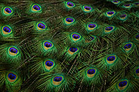 /images/133/2017-02-05-reid-peacocks-1x_40952.jpg - #13642: Peacock feathers at Reid Park Zoo … February 2017 -- Reid Park Zoo, Tucson, Arizona
