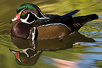 /images/133/2017-02-07-reid-wood-ducks-1x_41592.jpg - 13653: Wood Duck at Reid Park Zoo … February 2017 -- Reid Park Zoo, Tucson, Arizona