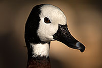 /images/133/2017-02-09-reid-whistling-1x_43333.jpg - 13686: White Faced Whistling Duck at Reid Park Zoo … February 2017 -- Reid Park Zoo, Tucson, Arizona