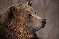 /images/133/2017-02-11-reid-grizzlies-1x2_1152.jpg - #13700: Grizzly at Reid Park Zoo … February 2017 -- Reid Park Zoo, Tucson, Arizona