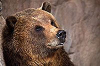 /images/133/2017-02-11-reid-grizzlies-1x2_1159.jpg - #13701: Grizzly at Reid Park Zoo … February 2017 -- Reid Park Zoo, Tucson, Arizona