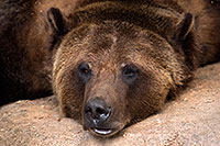 /images/133/2017-02-11-reid-grizzlies-1x2_1164.jpg - #13702: Grizzly at Reid Park Zoo … February 2017 -- Reid Park Zoo, Tucson, Arizona