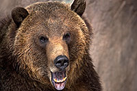 /images/133/2017-02-11-reid-grizzlies-1x2_1181.jpg - #13703: Grizzly at Reid Park Zoo … February 2017 -- Reid Park Zoo, Tucson, Arizona