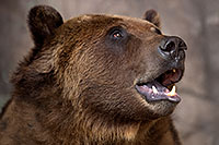 /images/133/2017-02-11-reid-grizzlies-1x2_1256.jpg - #13706: Grizzly at Reid Park Zoo … February 2017 -- Reid Park Zoo, Tucson, Arizona