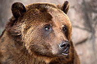 /images/133/2017-02-11-reid-grizzlies-1x2_1263.jpg - #13707: Grizzly at Reid Park Zoo … February 2017 -- Reid Park Zoo, Tucson, Arizona