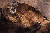 /images/133/2017-02-11-reid-grizzlies-1x2_1303.jpg - #13709: Grizzlies at Reid Park Zoo … February 2017 -- Reid Park Zoo, Tucson, Arizona