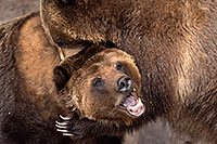 /images/133/2017-02-11-reid-grizzlies-1x2_1473.jpg - #13711: Grizzlies at Reid Park Zoo … February 2017 -- Reid Park Zoo, Tucson, Arizona