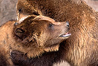 /images/133/2017-02-11-reid-grizzlies-1x2_1525.jpg - #13713: Grizzlies at Reid Park Zoo … February 2017 -- Reid Park Zoo, Tucson, Arizona