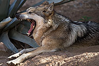 /images/133/2017-02-12-desert-wolf-1x2_2433.jpg - #13752: Mexican Wolf at Arizona Sonora Desert Museum … February 2017 -- Arizona-Sonora Desert Museum, Tucson, Arizona