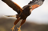 /images/133/2017-02-14-museum-harris-1x2_3688.jpg - #13735: Harris Hawk at Arizona Sonora Desert Museum … February 2017 -- Arizona-Sonora Desert Museum, Tucson, Arizona