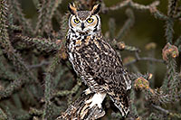 /images/133/2017-02-19-museum-great-owl-1x2_6912.jpg - #13816: Great Horned Owl at Arizona Sonora Desert Museum … February 2017 -- Arizona-Sonora Desert Museum, Tucson, Arizona