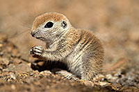 /images/133/2017-05-15-tucson-creatures-1x2_1589.jpg - #13803: Blue eyed baby Round Tailed Ground Squirrel … May 2017 -- Tucson, Arizona