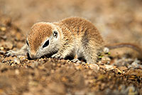 /images/133/2017-05-15-tucson-creatures-1x2_1601.jpg - #13804: Blue eyed baby Round Tailed Ground Squirrel … May 2017 -- Tucson, Arizona