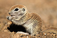 /images/133/2017-05-15-tucson-creatures-1x2_1606.jpg - #13805: Blue eyed baby Round Tailed Ground Squirrel … May 2017 -- Tucson, Arizona
