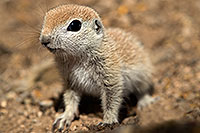 /images/133/2017-05-15-tucson-creatures-1x2_1702.jpg - #13806: Blue eyed baby Round Tailed Ground Squirrel … May 2017 -- Tucson, Arizona