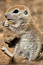 /images/133/2017-05-15-tucson-creatures-1x2_1871v.jpg - #13807: Blue eyed baby Round Tailed Ground Squirrel … May 2017 -- Tucson, Arizona