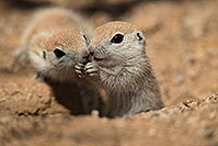 /images/133/2017-05-15-tucson-creatures-1x2_2000.jpg - #13808: Round Tailed Ground Squirrels … May 2017 -- Tucson, Arizona