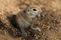 /images/133/2017-05-15-tucson-creatures-1x2_2171.jpg - #13809: Blue eyed baby Round Tailed Ground Squirrel … May 2017 -- Tucson, Arizona