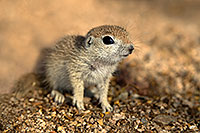 /images/133/2017-05-15-tucson-creatures-1x2_2191.jpg - #13810: Blue eyed baby Round Tailed Ground Squirrel … May 2017 -- Tucson, Arizona