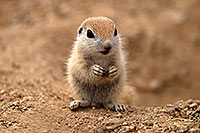 /images/133/2017-05-16-tucson-creatures-1x2_2666.jpg - #13817: Round Tailed Ground Squirrels … May 2017 -- Tucson, Arizona