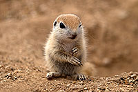 /images/133/2017-05-16-tucson-creatures-1x2_2674.jpg - #13818: Round Tailed Ground Squirrels … May 2017 -- Tucson, Arizona