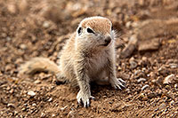 /images/133/2017-05-16-tucson-creatures-1x2_2831.jpg - #13819: Round Tailed Ground Squirrels … May 2017 -- Tucson, Arizona