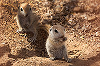 /images/133/2017-05-16-tucson-creatures-4-1x2_2559.jpg - #13820: Round Tailed Ground Squirrels … May 2017 -- Tucson, Arizona