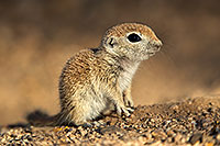 /images/133/2017-05-17-tucson-creatures-1x2_3226.jpg - #13821: Round Tailed Ground Squirrels … May 2017 -- Tucson, Arizona