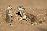 /images/133/2017-05-17-tucson-creatures-2-1x2_3061.jpg - #13822: Round Tailed Ground Squirrels … May 2017 -- Tucson, Arizona