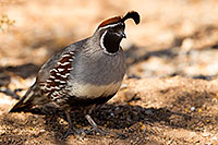 /images/133/2017-05-17-tucson-quail-1x2_2905.jpg - #13824: Gambels Quail (male) in Tucson … May 2017 -- Tucson, Arizona