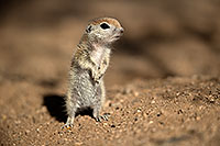 /images/133/2017-05-18-tucson-creatures-1x2_3370.jpg - #13825: Round Tailed Ground Squirrels … May 2017 -- Tucson, Arizona