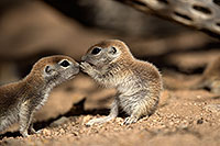 /images/133/2017-05-18-tucson-creatures-1x2_3460.jpg - #13826: Round Tailed Ground Squirrels … May 2017 -- Tucson, Arizona