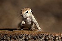 /images/133/2017-05-18-tucson-creatures-2-1x2_3493.jpg - #13827: Round Tailed Ground Squirrels … May 2017 -- Tucson, Arizona