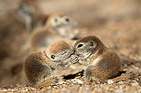 /images/133/2017-05-19-tucson-creatures-1x2_3844.jpg - #13828: Round Tailed Ground Squirrels … May 2017 -- Tucson, Arizona