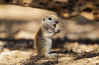 /images/133/2017-05-20-tucson-creatures-1x2_4163.jpg - #13830: Round Tailed Ground Squirrels … May 2017 -- Tucson, Arizona