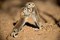 /images/133/2017-05-21-tucson-creatures-1x2_4340.jpg - #13832: Round Tailed Ground Squirrels … May 2017 -- Tucson, Arizona