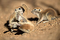 /images/133/2017-05-21-tucson-creatures-1x2_4351.jpg - #13833: Round Tailed Ground Squirrels … May 2017 -- Tucson, Arizona