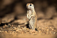 /images/133/2017-05-21-tucson-creatures-1x2_4440.jpg - #13835: Round Tailed Ground Squirrels … May 2017 -- Tucson, Arizona