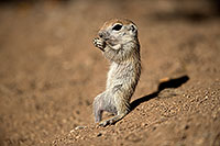 /images/133/2017-05-21-tucson-creatures-1x2_4445.jpg - #13836: Round Tailed Ground Squirrels … May 2017 -- Tucson, Arizona