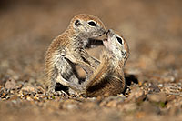 /images/133/2017-05-21-tucson-creatures-1x2_4469.jpg - #13837: Round Tailed Ground Squirrels … May 2017 -- Tucson, Arizona