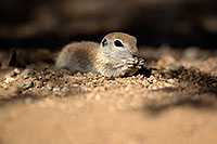 /images/133/2017-05-21-tucson-creatures-1x2_4510.jpg - #13839: Round Tailed Ground Squirrels … May 2017 -- Tucson, Arizona