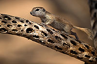 /images/133/2017-05-21-tucson-creatures-1x2_4579.jpg - #13841: Round Tailed Ground Squirrels … May 2017 -- Tucson, Arizona