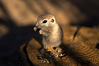 /images/133/2017-05-21-tucson-creatures-1x_46455.jpg - #13831: Round Tailed Ground Squirrels … May 2017 -- Tucson, Arizona