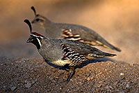 /images/133/2017-05-21-tucson-quail-1x2_4698.jpg - #13843: Gambels Quail male with female in Tucson … May 2017 -- Tucson, Arizona