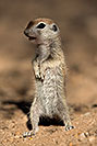 /images/133/2017-05-22-tucson-creatures-1x2_4425v.jpg - #13846: Round Tailed Ground Squirrels … May 2017 -- Tucson, Arizona